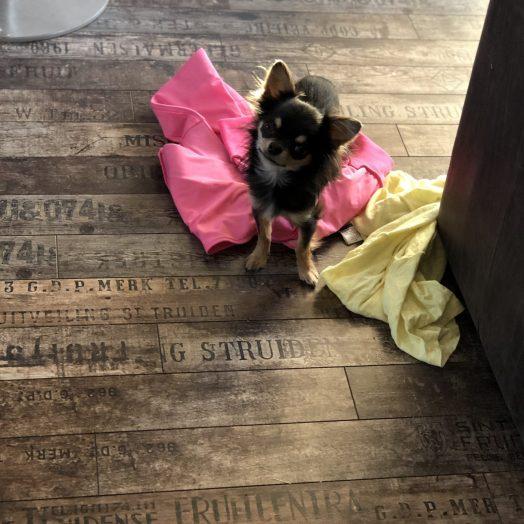 Chihuahua Cookie